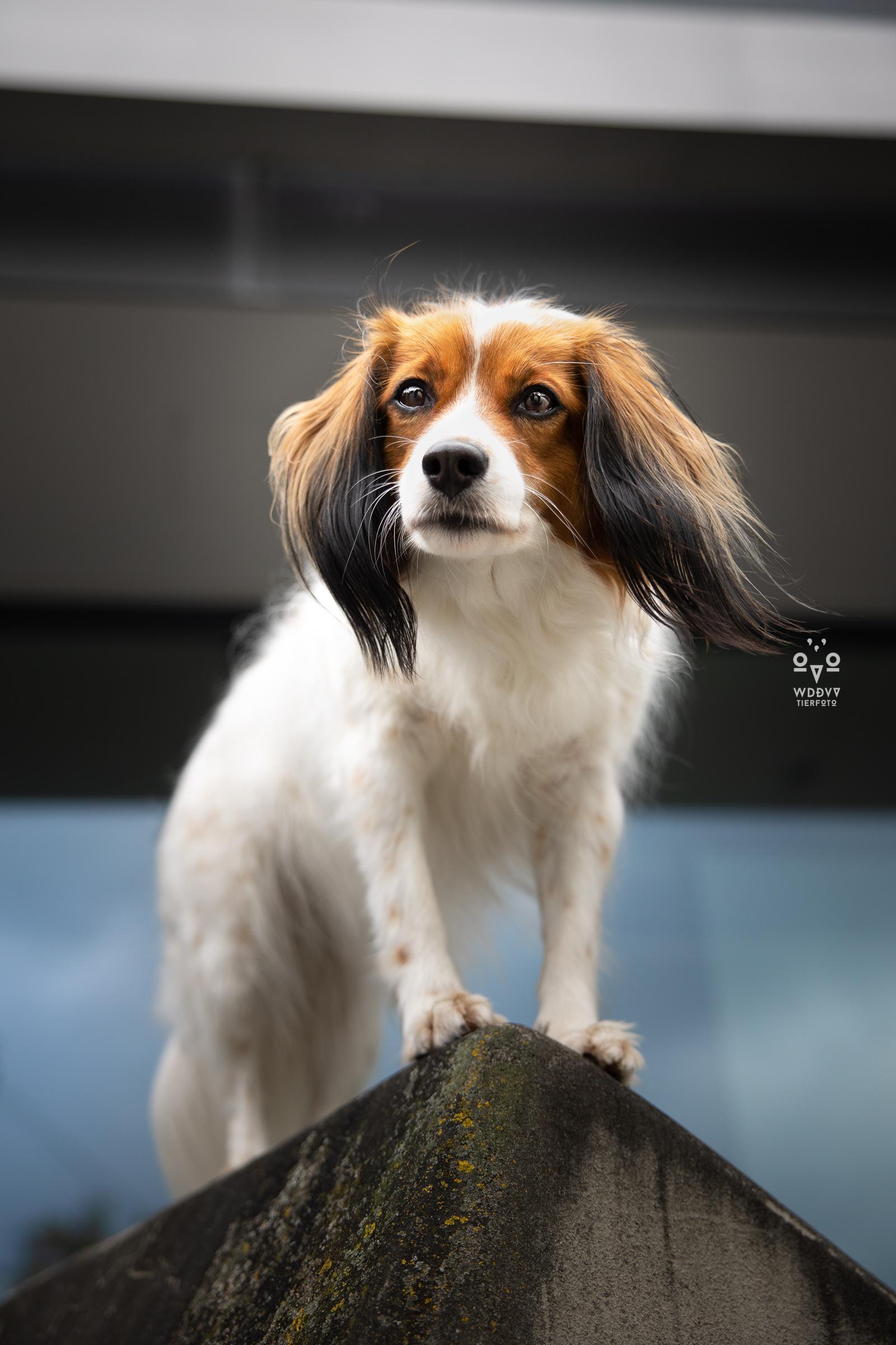 Wie das Ding vom Vogel Hundeshooting Tiershooting München Cityschnauzen Kooikerhondje Buffy