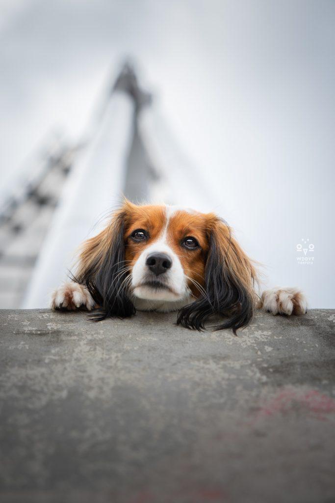 Wie das Ding vom Vogel Hundeshooting Tiershooting München Cityschnauzen Kooikerhondje