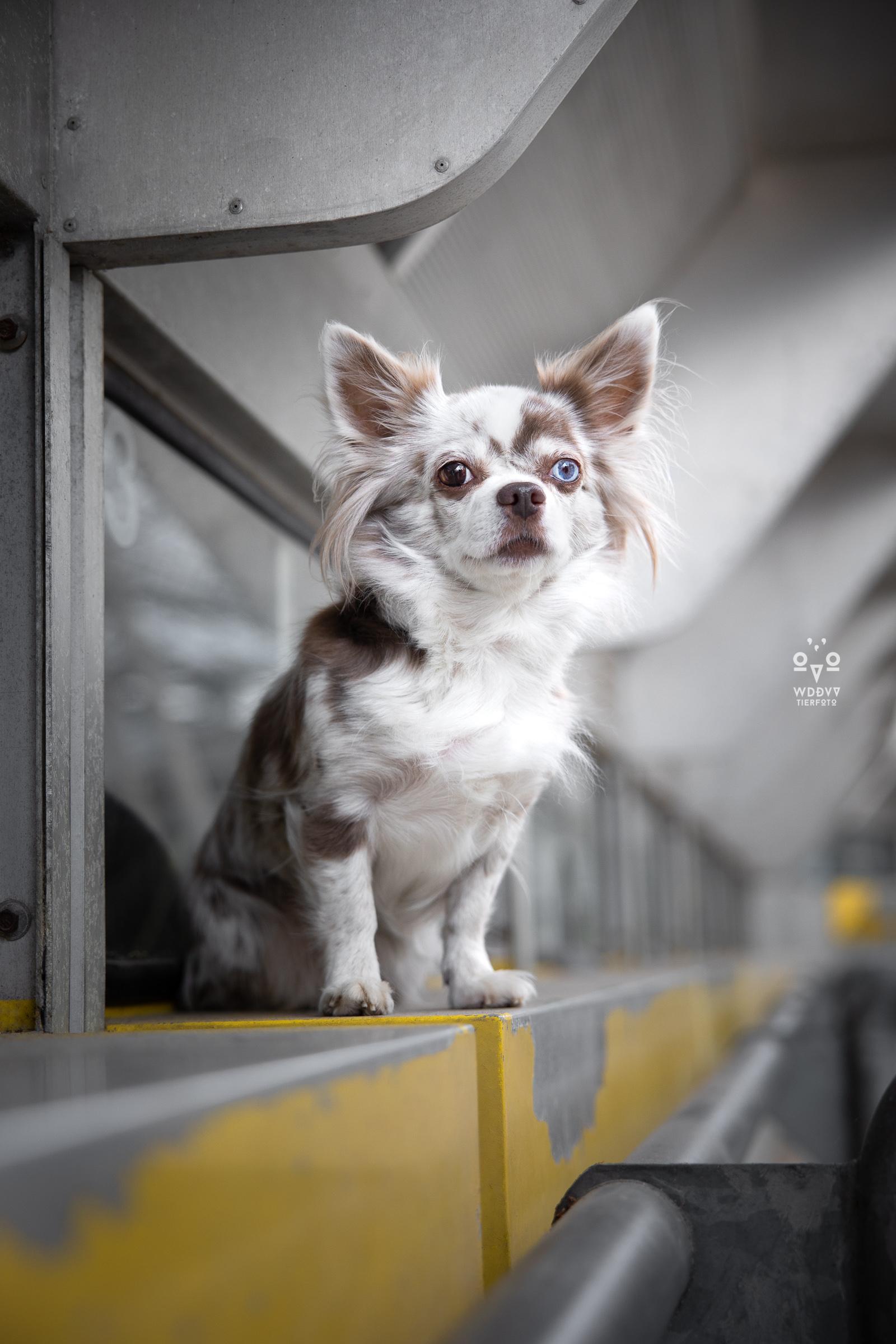 Wie das Ding vom Vogel Hundeshooting Tiershooting München Cityschnauzen Chihuahua