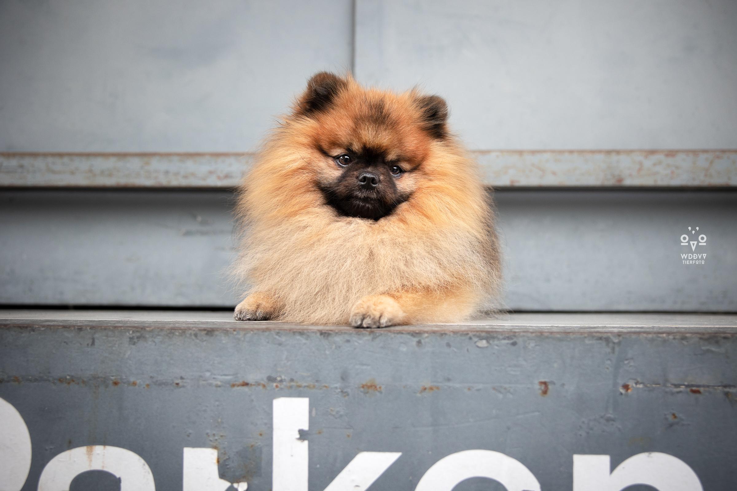 Wie das Ding vom Vogel Hundeshooting Tiershooting München Pomerian Spitz